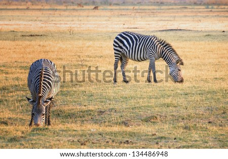 Zebras grazing in South Luangwa National Park, Zambia, Africa