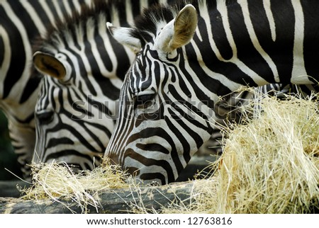 Zebras grazing on grass and hay