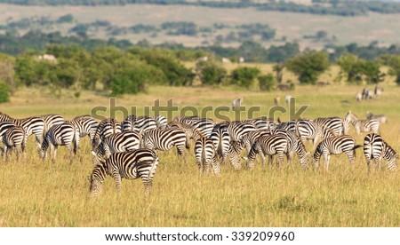 Zebras grazing on the grassland in Masai Mara national reserv - stock photo