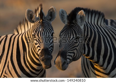 Zebras greeting in the sunset - stock photo