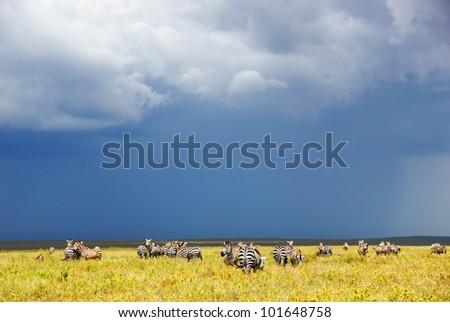 Zebras herd in the savannah of the Serengeti national park after rain, Tanzania - stock photo