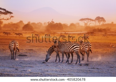 Zebras herd on savanna at sunset, Amboseli, Africa - stock photo