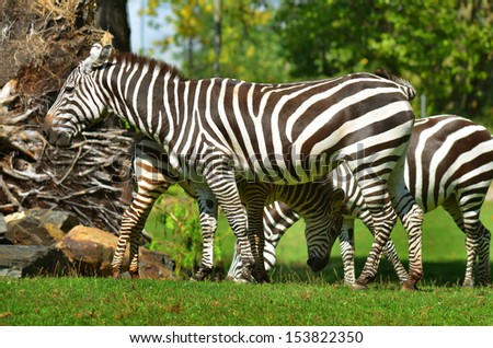 Zebras Hluhluwe-Imfolosi Park South Africa - stock photo