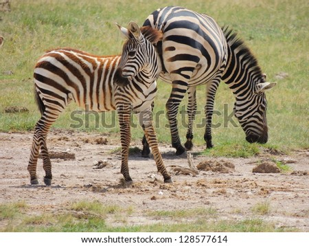zebras in amboseli national park, kenya,  africa