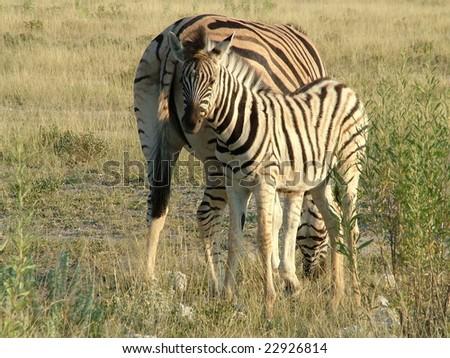 Zebras in Etosha - stock photo