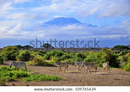 Zebras in front the Mount Kilimanjaro on a beautiful morning, Tanzania, Africa - stock photo