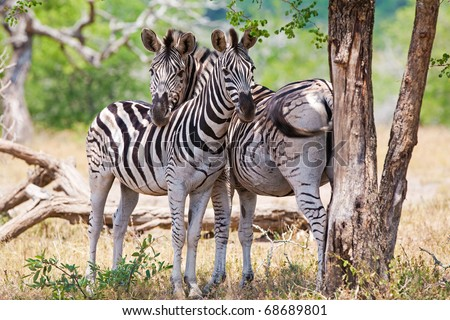 Zebras in Kruger National Park, South Africa - stock photo