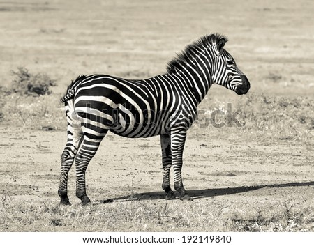 Zebras in Lake Manyara National Park - Tanzania (stylized retro) - stock photo