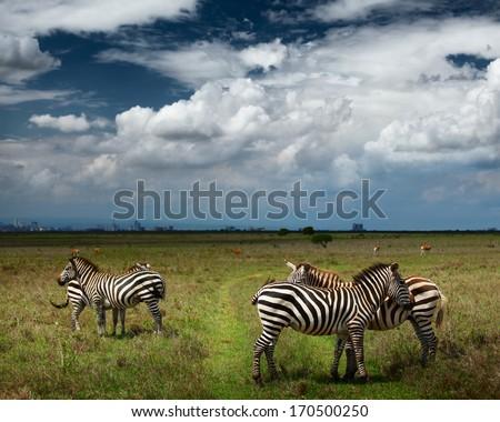 Zebras in savanna of Nairobi National Park. Nairobi skyline is visible on the horizon. Kenya - stock photo