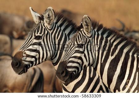 Zebras in soft afternoon light, Serengeti, Tanzania - stock photo