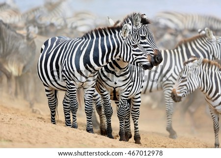 Zebras in the big herd during the great migration in masai mara, wild africa, african wildlife, animals in their nature habitat