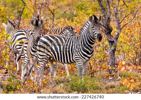 Zebras in the Kruger National Park, South Africa - stock photo