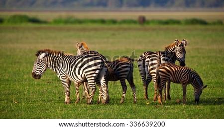 Zebras in the Lake Manyara National Park, Tanzania - stock photo