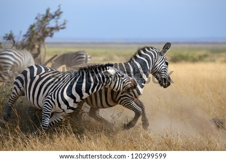 Zebras in the Masai Mara during the Great Migration