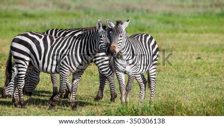 Zebras in the Ngorongoro Crater, Tanzania - stock photo