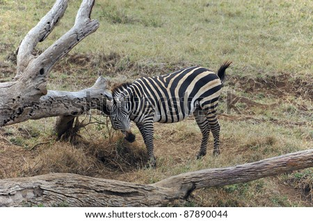 Zebras in the  Serengeti hosts the largest mammal migration in the world, which is one of the ten natural travel wonders of the world. The region contains several national parks and game reserves. - stock photo