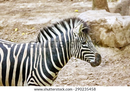 Zebras in their natural habitat. National Forest. - stock photo
