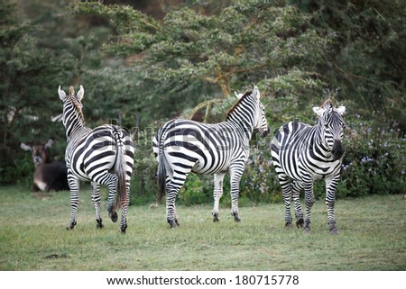 Zebras near Naivasha lake - stock photo