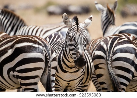 Zebras on african savannah