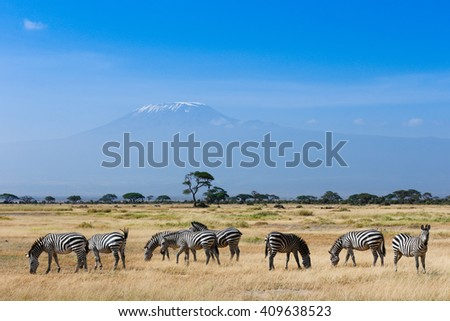 Zebras on african savannah with Kilimanjaro background