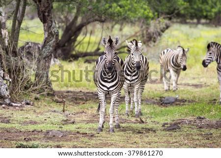 zebras on Casela Park - Mauritius - stock photo