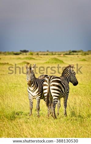 Zebras on plain, Masai Mara National Reserve, Kenya - stock photo