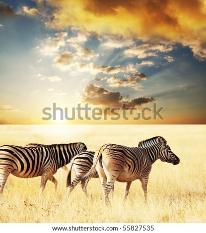 zebras on sunset - stock photo