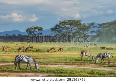 Zebras on the ground - stock photo