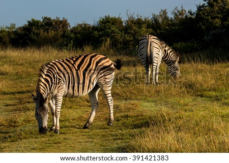 zebras on the savannah of the private reserve gondwana south africa