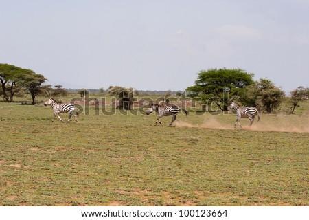 Zebras on the Serengeti Tanzania East Africa - stock photo