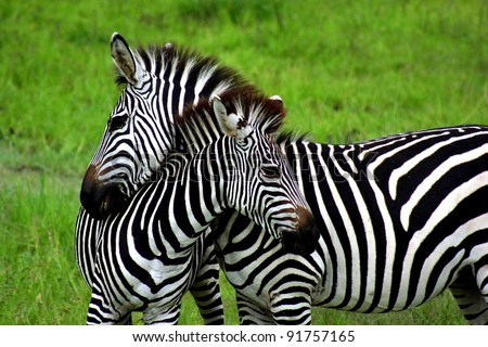 Zebras over green background in Zambia - stock photo