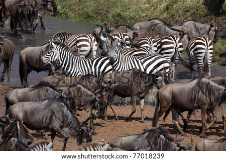 Zebras participating in the wildebeest migration crossing the Mara River, Serengeti National Park, Tanzania, East Africa - stock photo