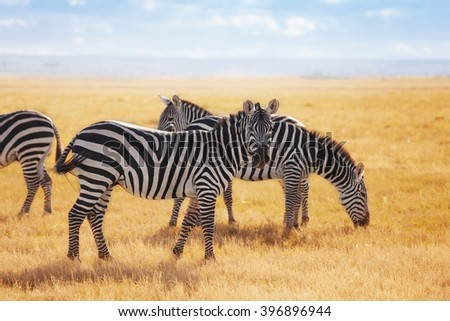 Zebras pasturing at the Kenyan savannah, Africa - stock photo