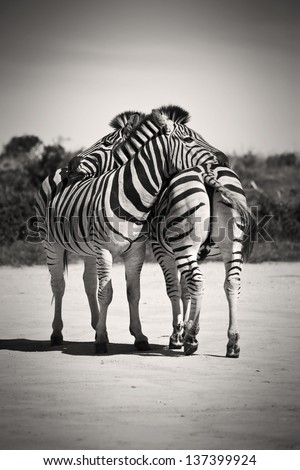 Zebras resting their heads on each other - stock photo
