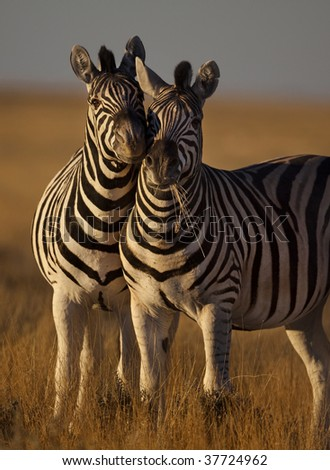 Zebras rubbing against eachother