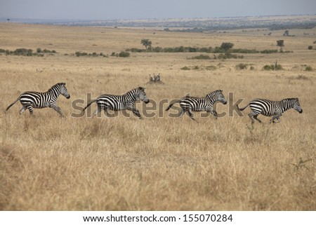 Zebras running in grassland savannah - stock photo