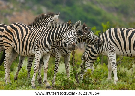 Zebras scratching on a branch