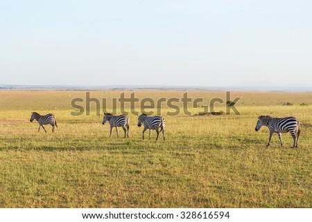 Zebras that migrate the savannah - stock photo