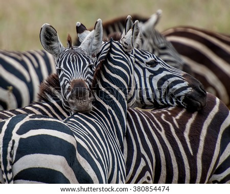 zebras together and resting