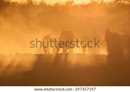 Zebras walking into a dusty sunset at the waterhole at Okaukeujo in the Etosha National Park