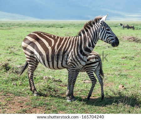 Zebras with baby in the Crater Ngorongoro National Park - Tanzania, East Africa - stock photo
