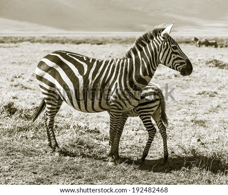 Zebras with baby in the Crater Ngorongoro National Park - Tanzania, East Africa (stylized retro) - stock photo