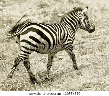 Zebras with baby on the Masai Mara National Reserve - Kenya (stylized retro) - stock photo