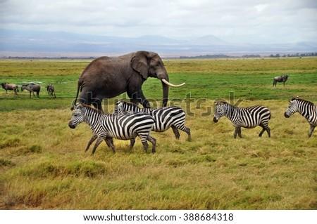 Zebras with elephant in grass of Amboseli National Park, Kenya - stock photo