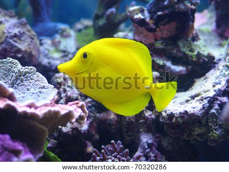 Zebrasoma Flavescens yellow tang