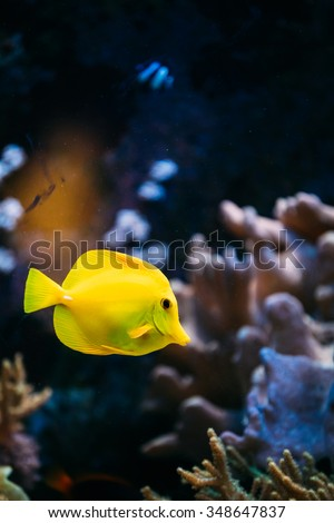 Zebrasoma yellow tang sea fish in aquarium.