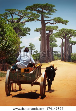 Zebu cart on a dry road leading through baobab alley. Madagascar. Focus on trees, cart is blurred - stock photo