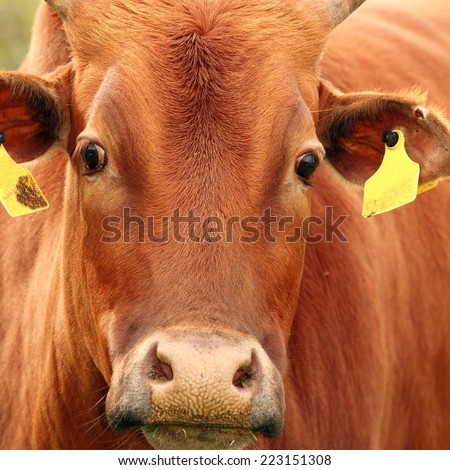 zebu cow head, portrait taken at the farm on a brown animal - stock photo