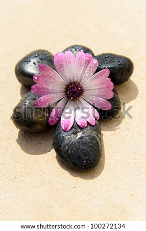 Zen concept of wet pink flower and wet spa stones on natural stone.