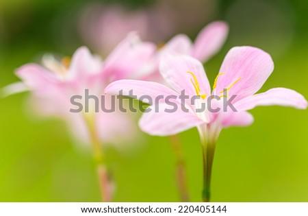 Zephyranthes candida Herb - stock photo